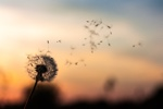 Dandelion head with seeds floating off in the breeze